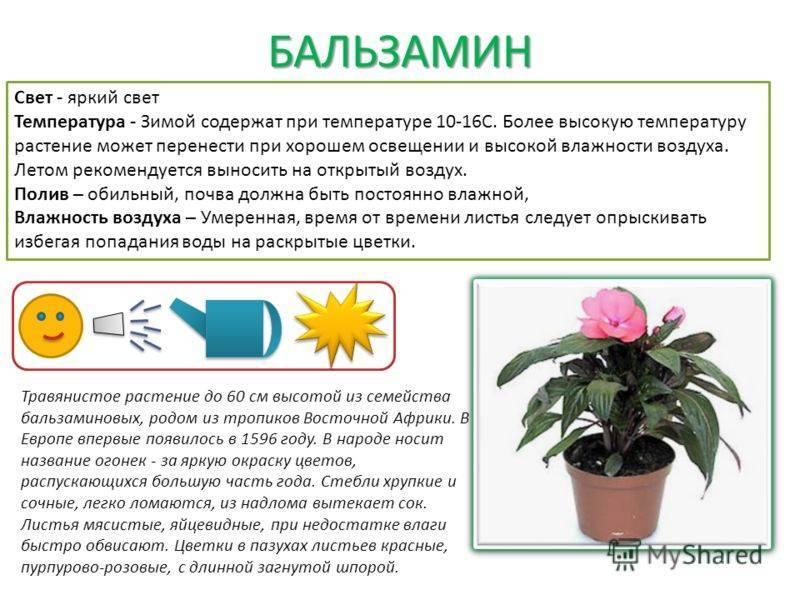 Цветы кордилина