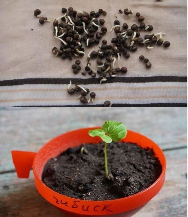 Семена герани — как выглядят и как их посеять на рассаду