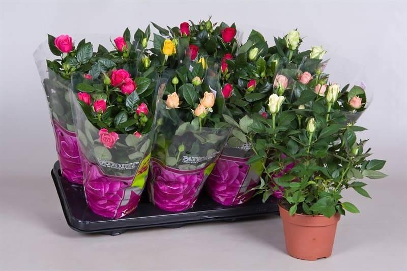 Роза микс: уход в домашних условиях, описание и фото подсортов патио хит, мини, парад и даника, болезни и вредители, также как выращивать комнатный цветок в горшке?