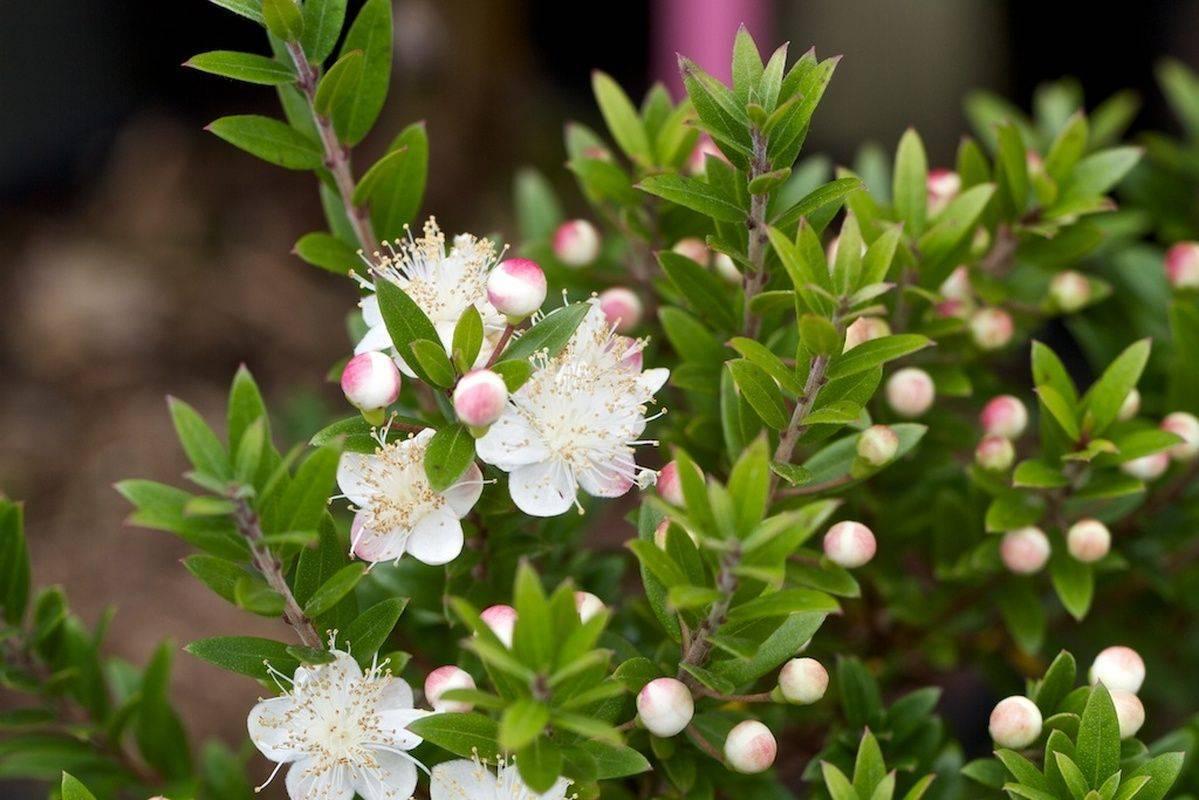 «дерево любви» — цветок аихризон (aichryson)