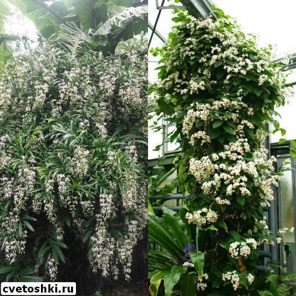 Клеродендрум томсона: уход в домашних условиях, размножение черенками и семенами, фото, и почему не цветет, как заставить набрать бутоны, как формировать куст?