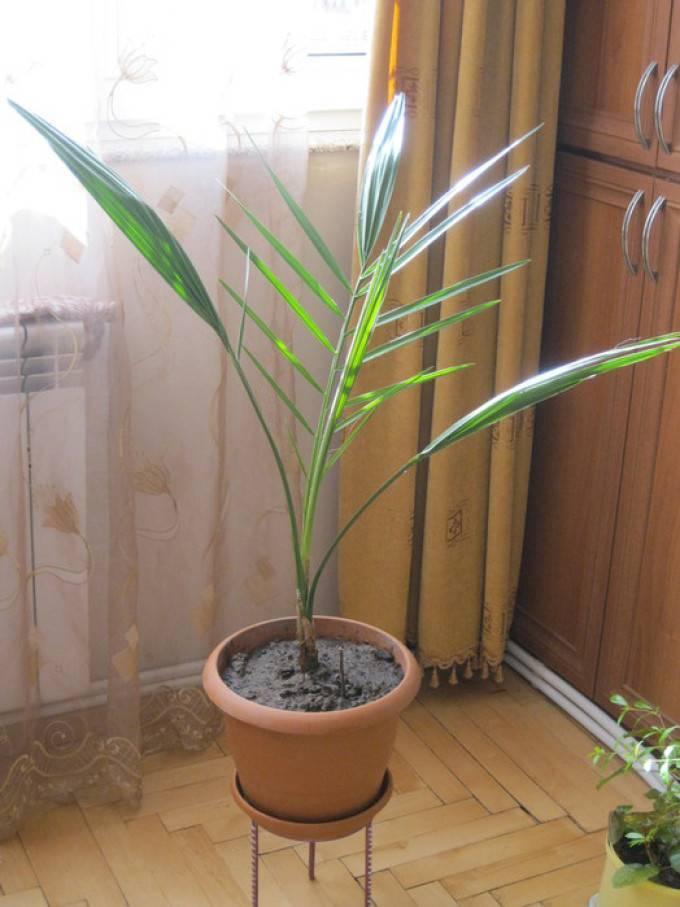 Как пересадить пальму в домашних условиях: советы для начинающих