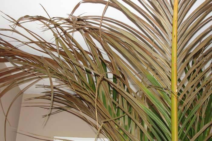 Арека хризалидокарпус: уход в домашних условиях, фото, описание