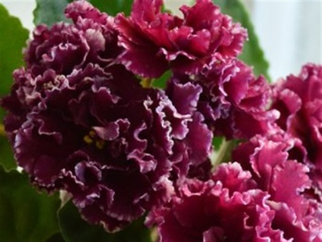Фиалка Маджента — описание и характеристики сорта