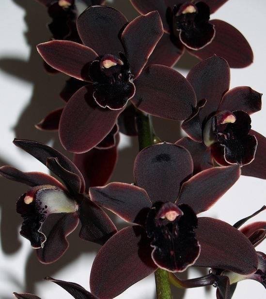 Орхидея хабенария радиата – описание и уход