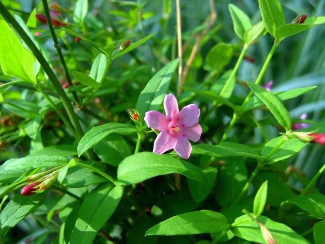 Комнатный жасмин не цветёт? срочно спасаем растение!