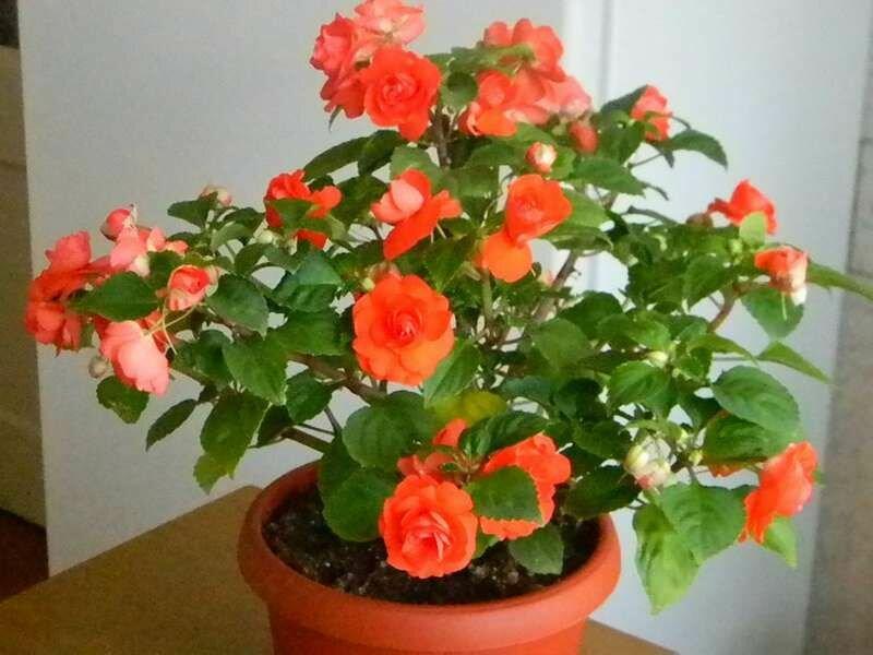 Бальзамин (цветок ванька мокрый, огонек, недотрога) — виды и названия ?