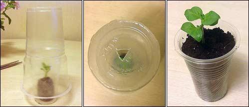 Укоренение черенков петунии в перлите. как размножить петунию черенками в домашних условиях