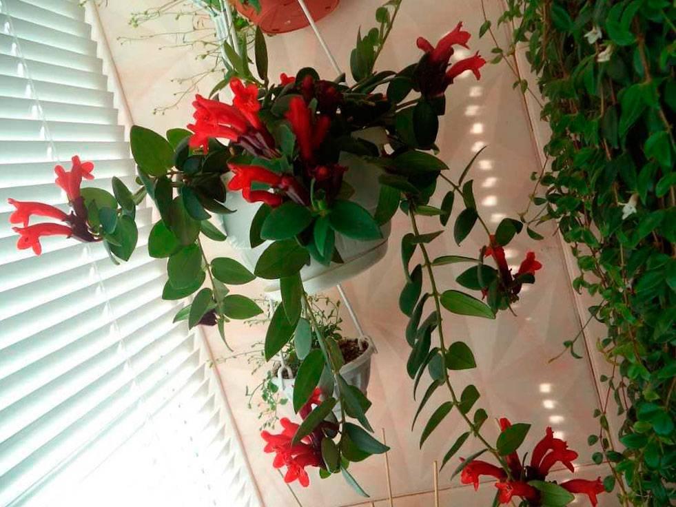 Цветок эсхинантус — уход в домашних условиях и размножение