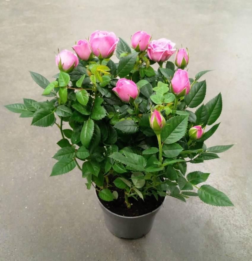 Роза скарлет (scarlet) — описание плетистого сорта