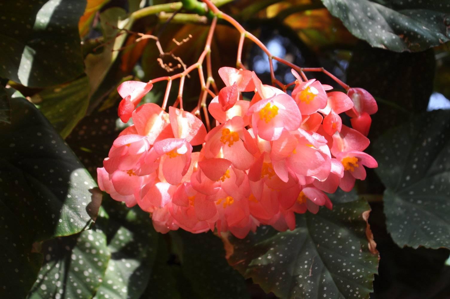 Цветок бегония коралловая в домашних условиях