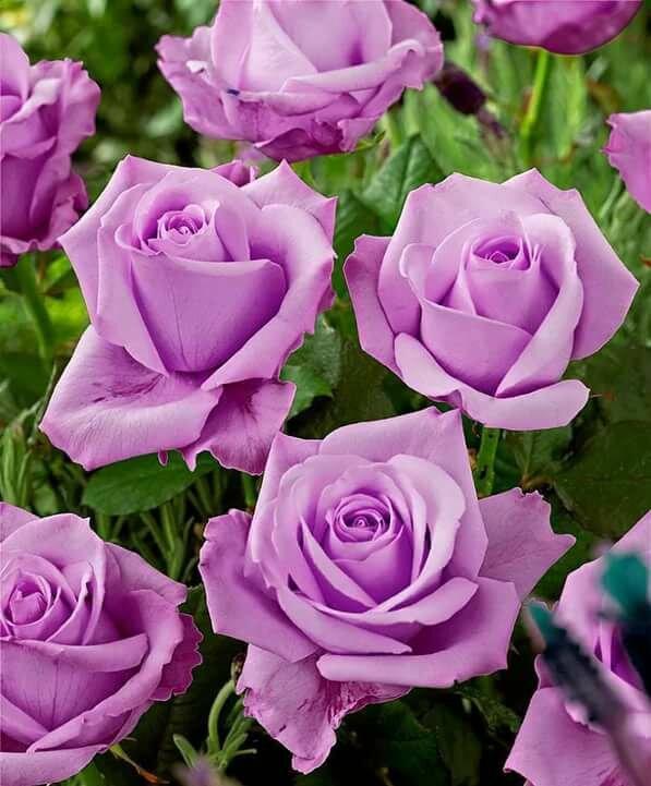 Роза голубой нил (blue nile) — характеристики сортового цветка