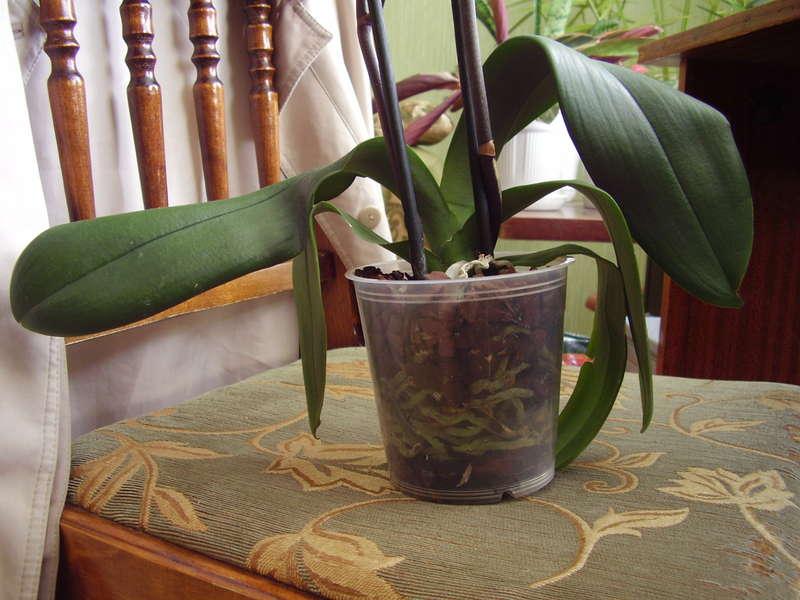 Почему желтеют листья у орхидеи