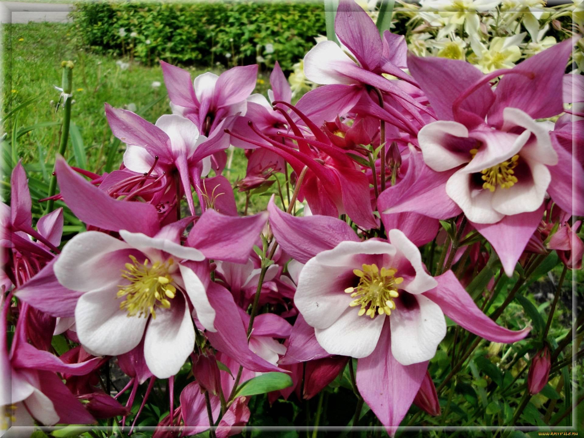 Водосбор или аквилегия: посадка и уход в открытом грунте, фото популярного цветка для выращивания на приусадебных участках и клумбах