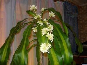 Комнатный цветок драцена. описание и уход за драценой маргинатой.