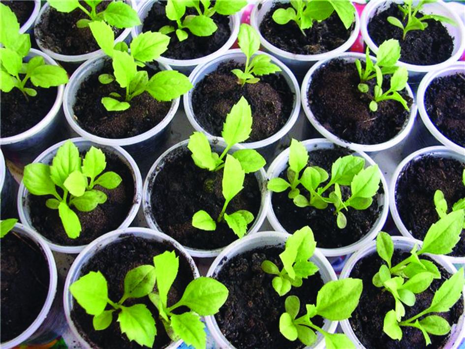 Немезия: выращивание из семян, уход, виды и сорта