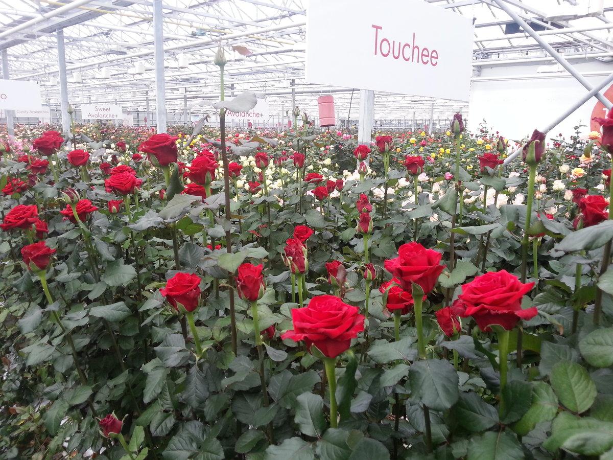 Голландские розы — сорта, особенности выращивания