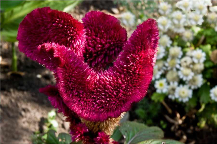 Целозия гребенчатая: выращивание из семян - подробная инструкция!
