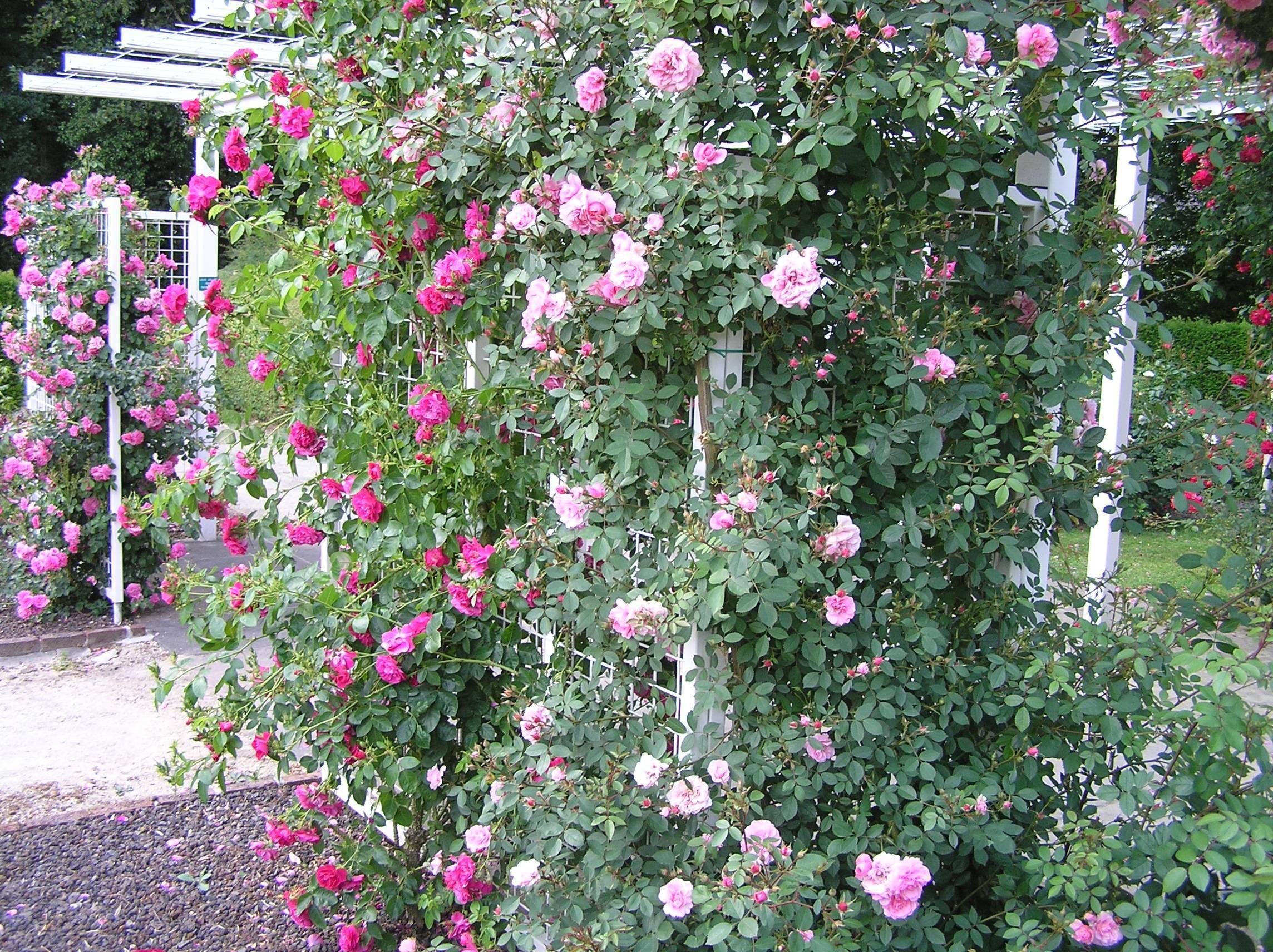 Описание канадской парковой розы джон франклин: как выращивать, правила ухода