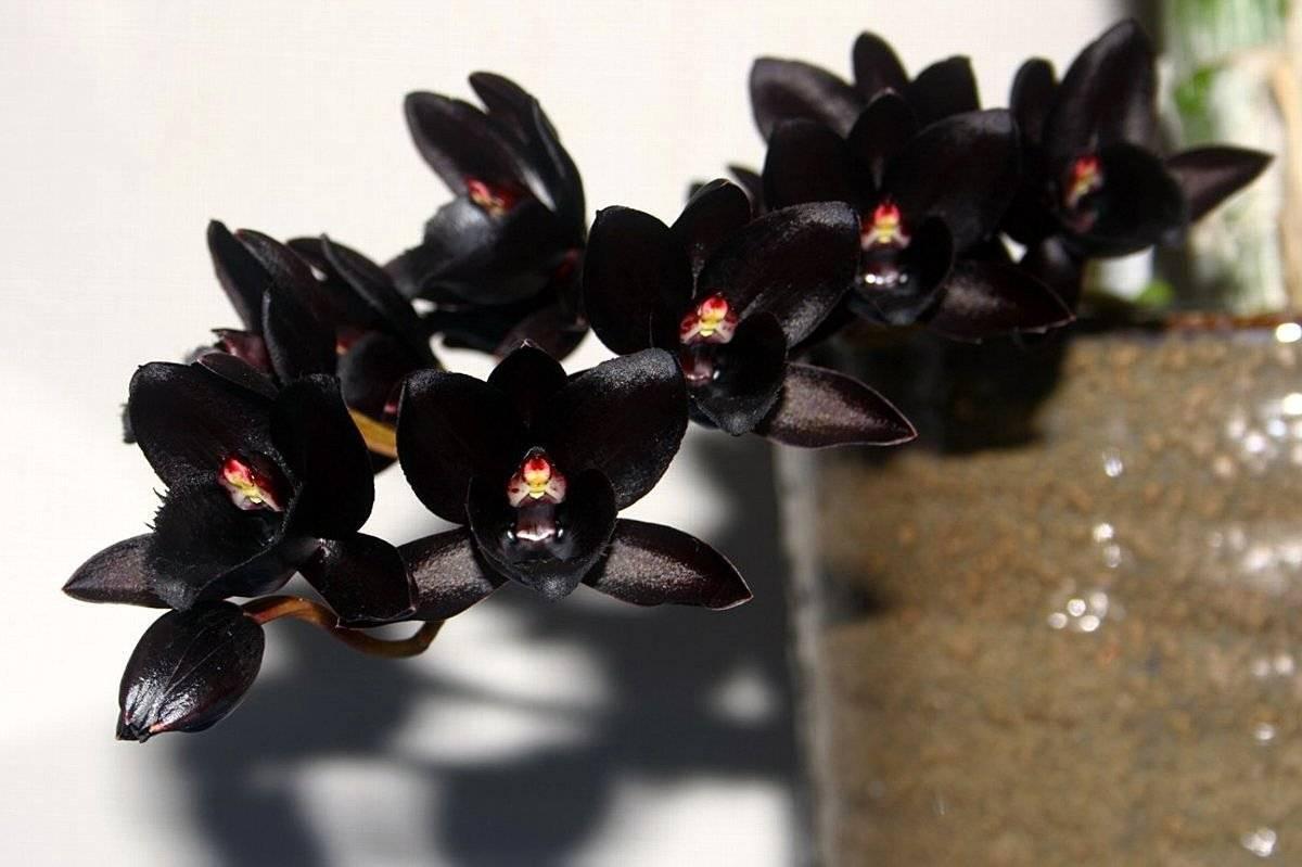 Черная орхидея (46 фото): разновидности цветка фаленопсис «черный принц» и «черная птичка»