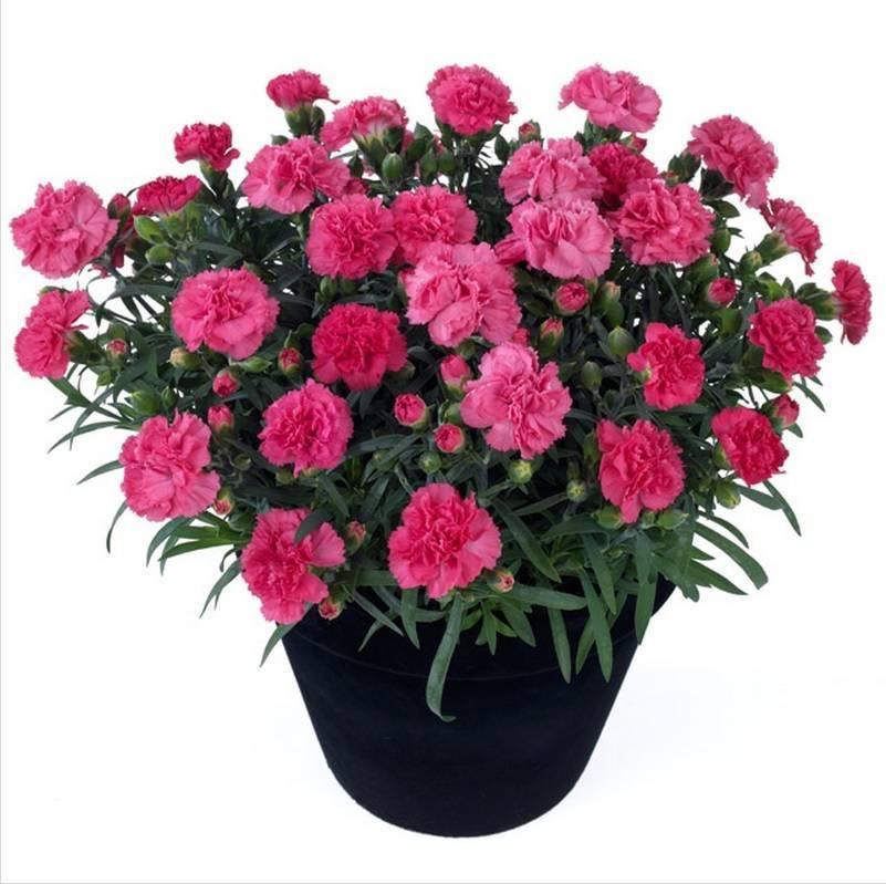 Гвоздика садовая (52 фото): посадка и уход за многолетним цветком в открытом грунте. как размножить гвоздику голландскую? как ухаживать после цветения?