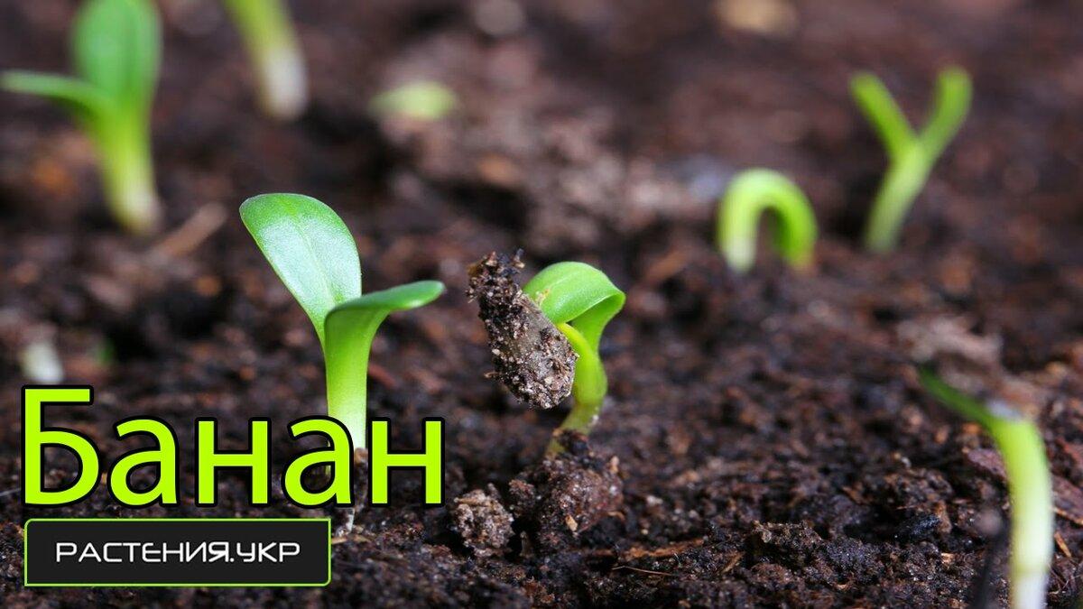 Выращивание банана дома: как прорастить и посадить банан из семян