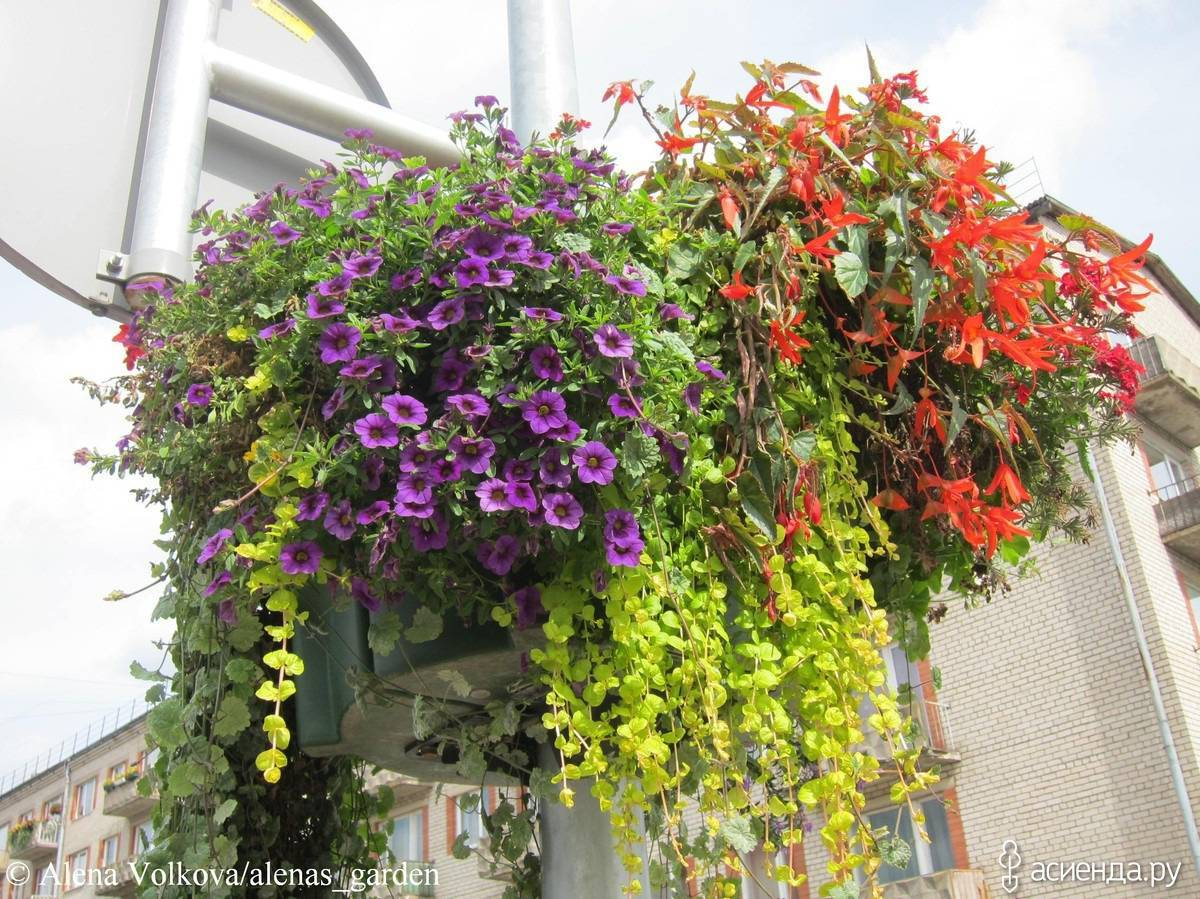 Ампельные цветы для оформления сада