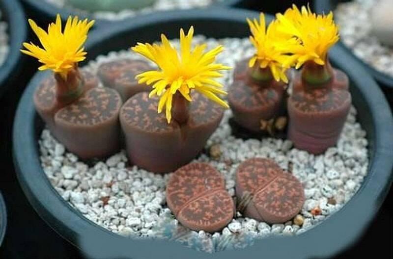 Живые камни: выращивание литопсов