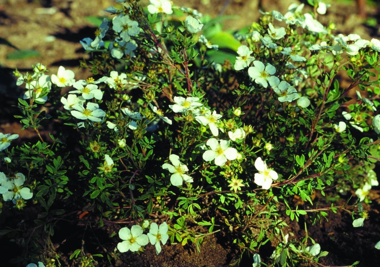 Лапчатка кустарниковая - описание, выращивание, уход, посадка, сорта, болезни и вредители