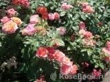 Чайно-гибридный сорт розы ред интуишн: как выращивать цветок, нюансы ухода