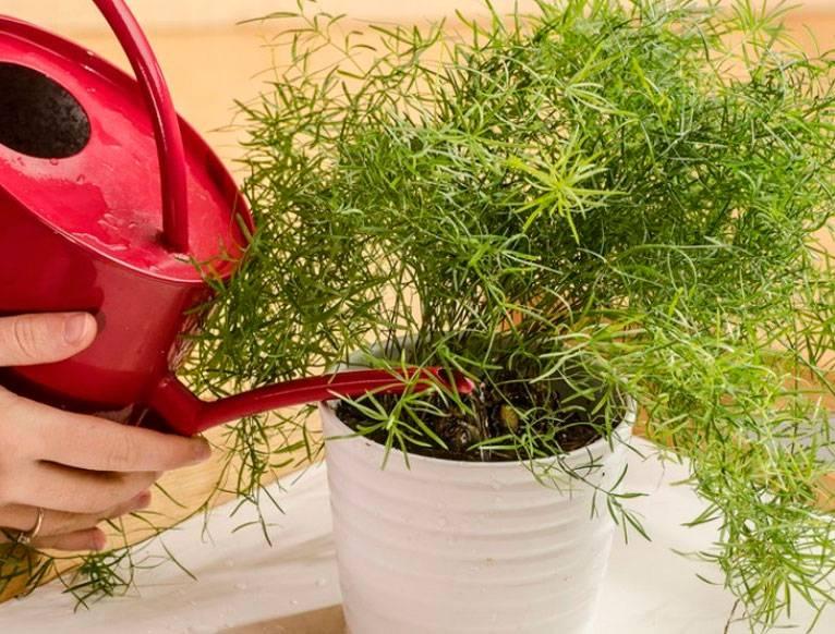 Цветок кордилина в домашних условиях, особенности ухода, размножение