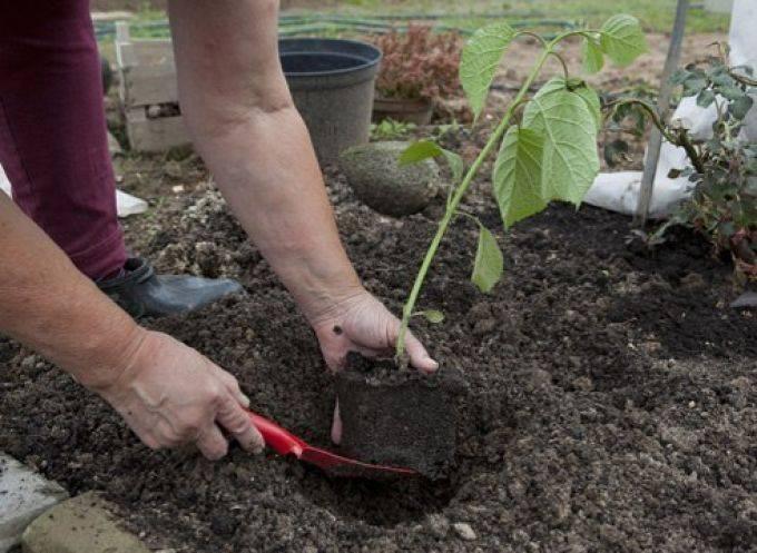 Выращивание инжира на кубани — особенности, опыт