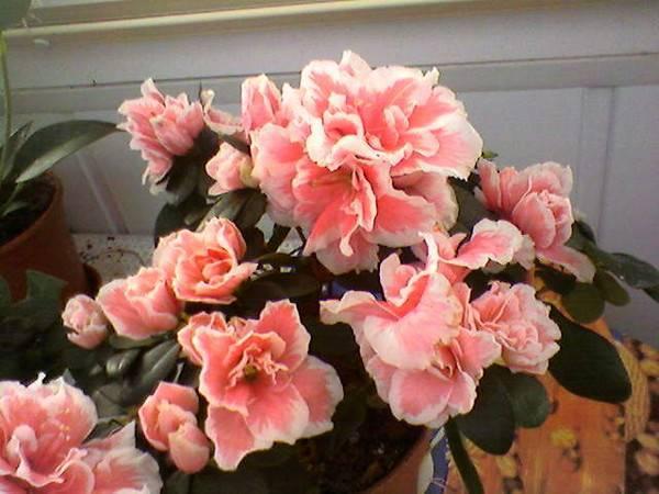 Азалия уход в домашних условиях после покупки, цветения, зимой