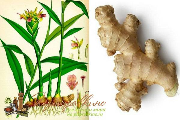 Что за растение имбирь: овощ или фрукт, как выглядит корень имбиря