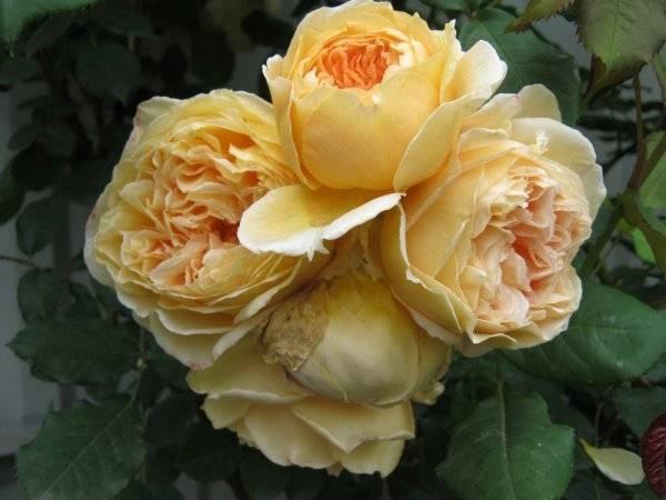 Роза принцесса анна (princess anne) — описание сорта