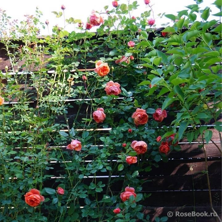 Роза саммер сонг фото и описание отзывы