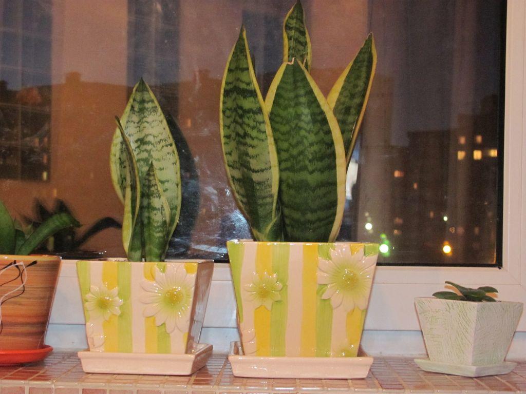 Размножение листом сансевиерии (или сансевьеры): когда провести процедуру, каким образом посадить черенок в воду и в грунт, а также фото щучьего хвоста