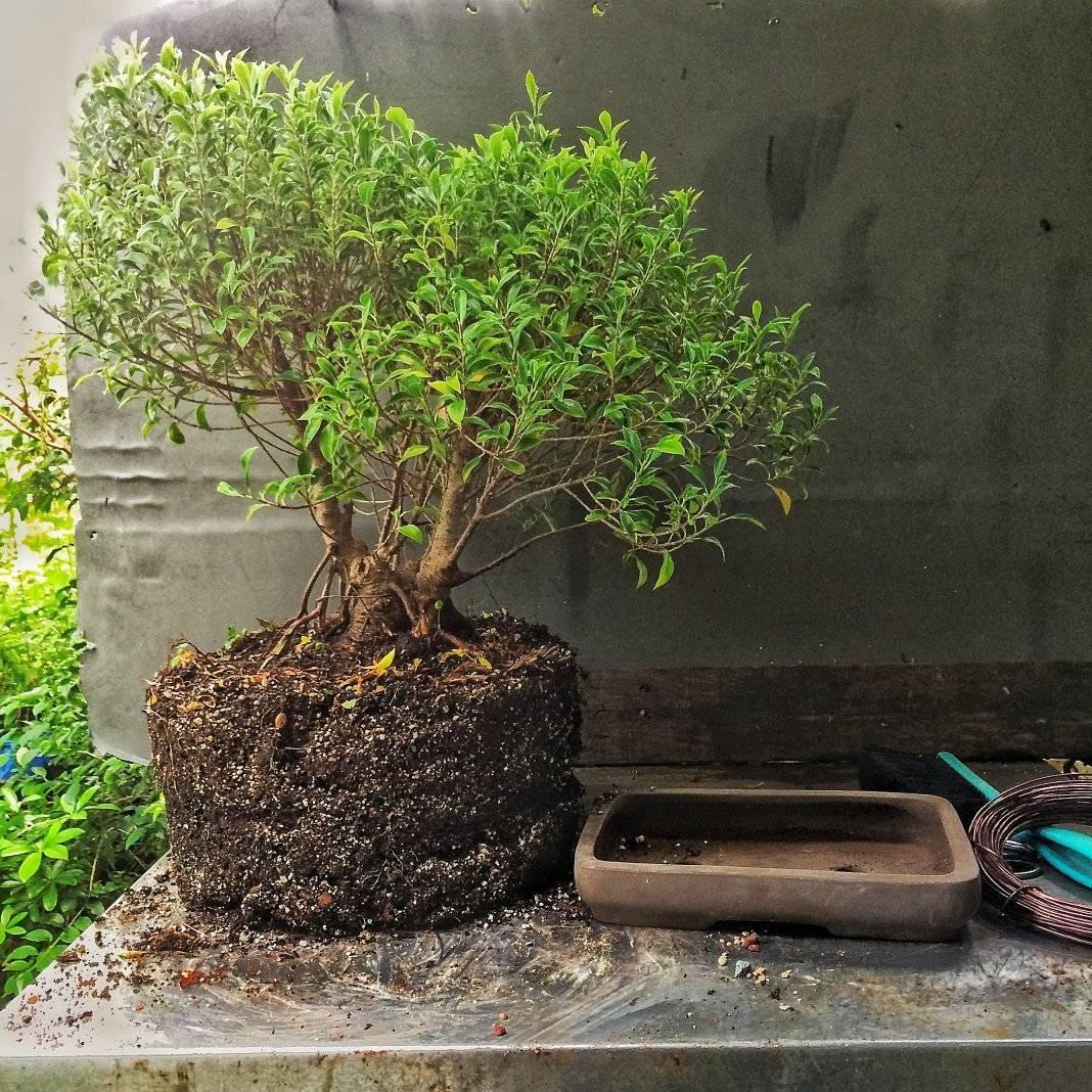 Как вырастить бонсай из обычного дерева в домашних условиях