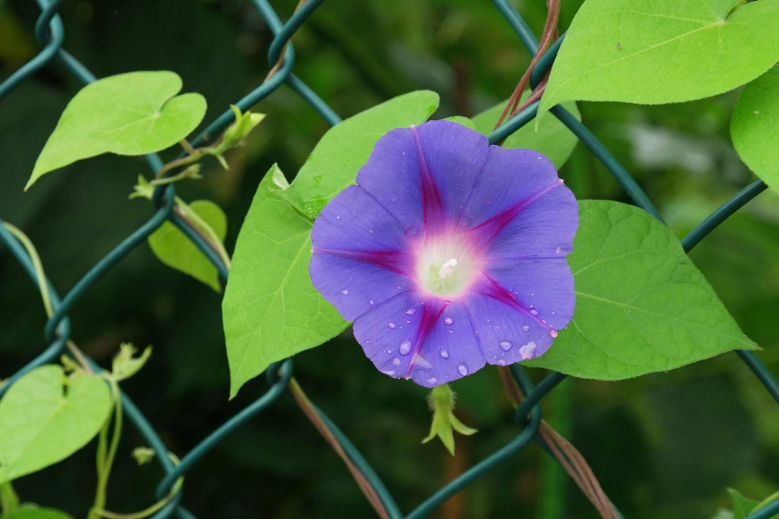 Ипомея (фото цветов)