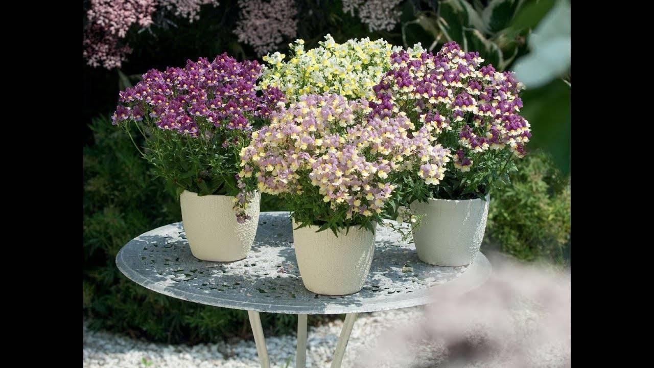 Немезия посадка и уход: немезия выращивание из семян когда сажать. | садовый участок