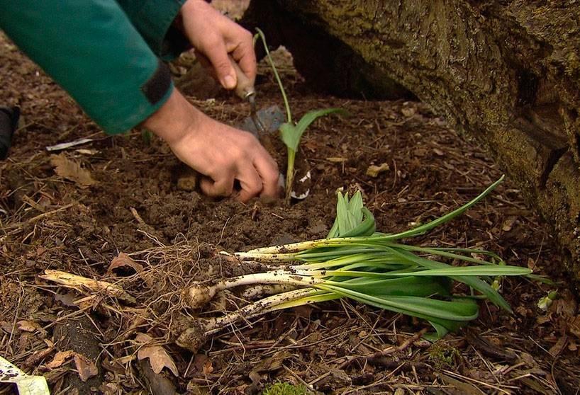 Описание видов и сортов подснежника, посадка в открытом грунте, уход в саду