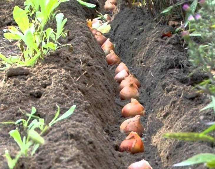 Когда сажать тюльпаны и как: сроки, глубина, правила высадки