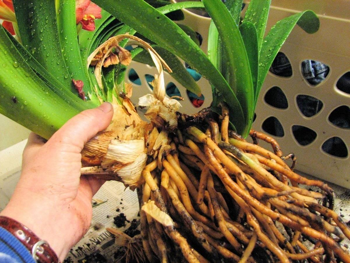 Выращивание кливии в домашних условиях: пересадка, размножение, особенности ухода