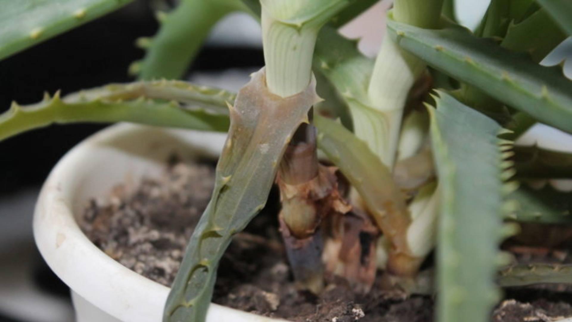 Алоэ: болезни, их лечение, фото и чем исцелить и спасти комнатное растение в домашних условиях, почему оно плохо развивается из-за вредителей, как их убрать?