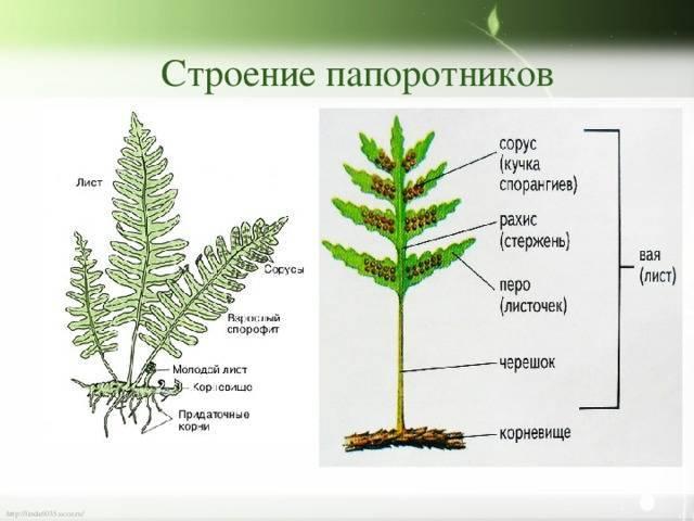 Виды папоротников — комнатные и домашние растения - pocvetam.ru