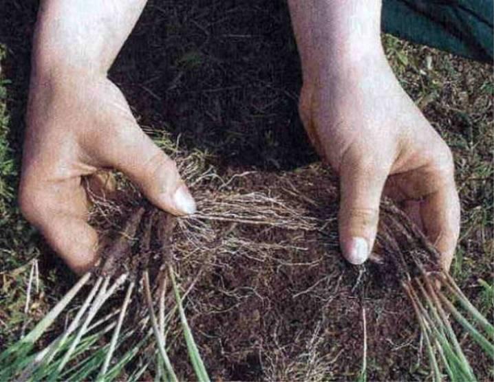 Хойя размножение черенками, укоренение и пересадка в домашних условиях