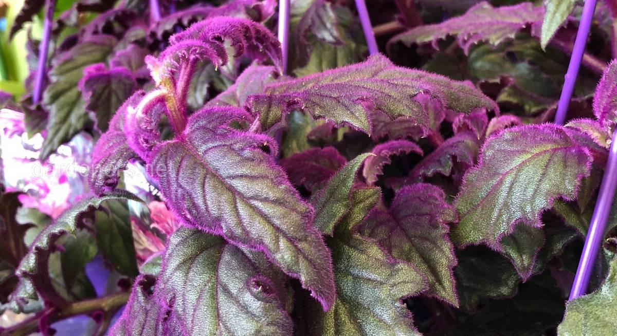 Цветок гинура: секреты выращивания