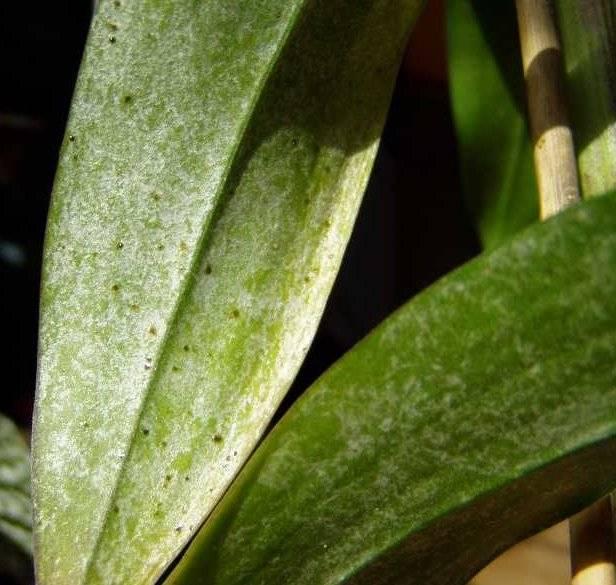 Болезни орхидей: темные пятна и другие виды заболеваний растения и их лечение