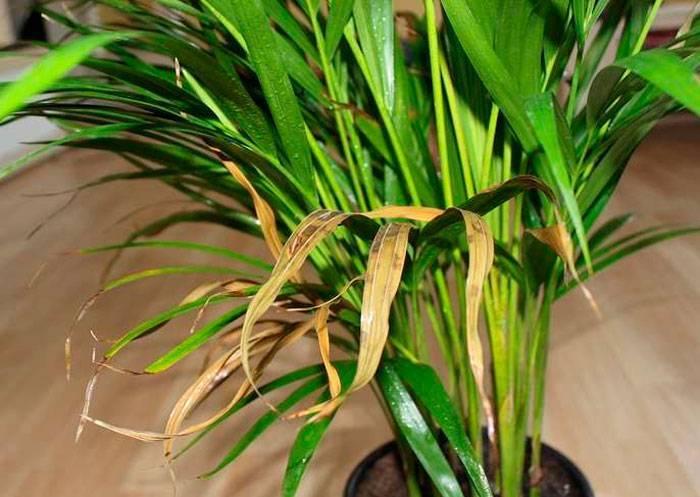 О пальмах ареках, уходе в домашних условиях: описание пальмы катеху