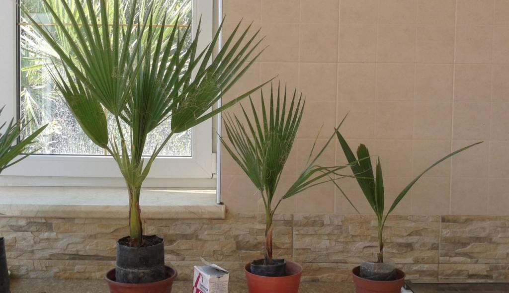 Пальма вашингтония: уход, способы размножения, болезни и вредители
